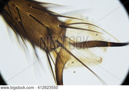 Housefly Leg With Bristles And Claws Under The Light Microscope, Magnification 400 Times