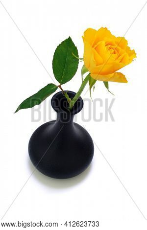 Yellow rose in small black vase on white background