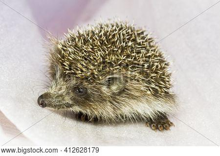 Little Cute West European Hedgehog Or Common Hedgehog