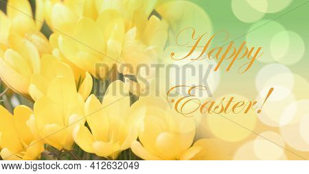 Yellow Crocus Growing Outside. View At Magic Blooming Spring Flowers Crocus Sativus. Happy Easter Te