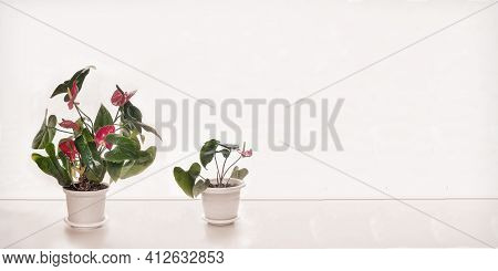On The Table Are Beautiful Indoor Anthurium Flowers With Bright Red Flowers. Front View Against A Wh