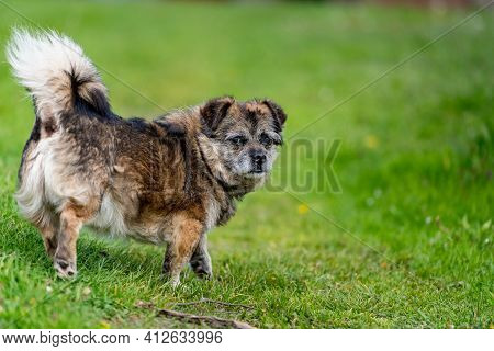 Old Mongrel Dog. Brown Mixed Breed Dog Portrait Outdoors In Summer.