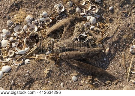 The Corpse Of Some Species Of Gannet Or Marine Bird, Dead, Surrounded By Old Shells, Near Playa Roja
