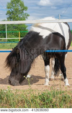 Small Black And White Spotted Pony With Long Haired Mane Is Nibbling The Green Grass Inside Of Farmy