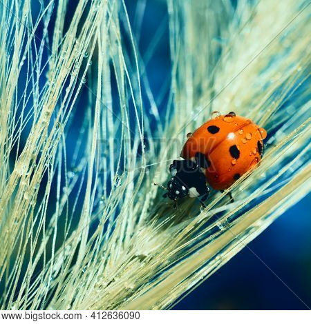 Square Format Natural Background With Red Dotted Little Ladybug Insect Is Climbing On Wet Spica Long