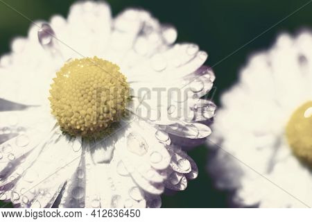 Toned Floral Backdrop Made Of Fragile Daisy Flowers With Wet Petals. Small Water Droplets On Marguer