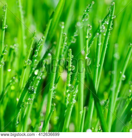 Square Format Extremely Close Up View Of Shining Clear Water Drops On Bright Thin Green Grass Leaves