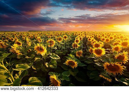 Splendid scene of vivid yellow sunflowers in the evening. Location place Ukraine, Europe. Ecology concept. Agrarian industry. Perfect photo wallpaper. Image of cultivation land. Beauty of earth.