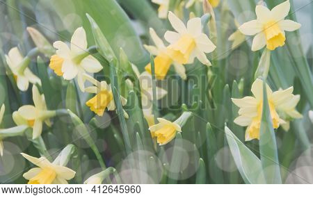 Daffodils On The Abstract Background With Bokeh Effect. Selective Focus And Shallow Depth Of Field.