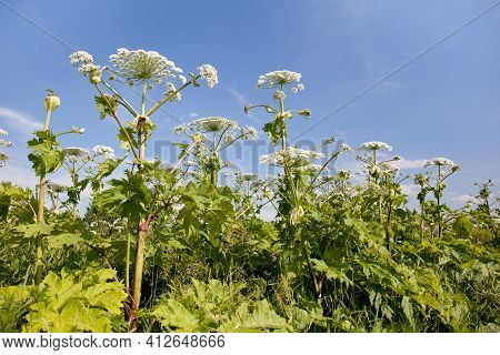 Giant Hogweed In Sunlight In Summer. A Large Hogweed Plant With A White Inflorescence.
