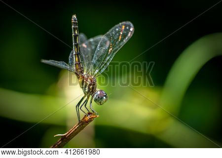 A Female Blue Dasher (pachydiplax Longipennis) With Its Tail Sticking Straight Up In The Air, A Cool