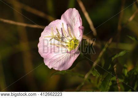 Beautiful Bloom Of A Pinkladies(oenothera Speciosa) Plant. Raleigh, North Carolina.