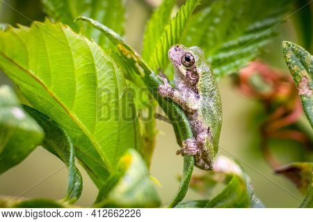 A Young Cope's Gray Tree Frog (hyla Chrysoscelis) Perches On A Leaf. Raleigh, North Carolina.