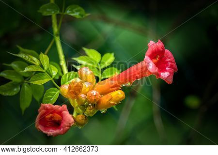 Blooms Of A Trumpet Vine (campsis Radicans) After A Rain. Raleigh, North Carolina.