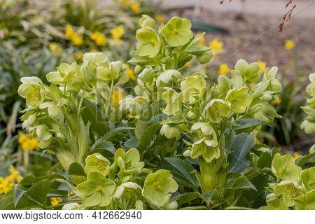 Close Up Of Helleborus Argutifolius (holly Leaved Helleobore) Flower In Spring Garden