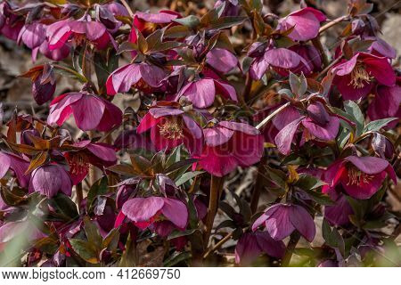 Close Up Of Rich Red, Purple Helleborus