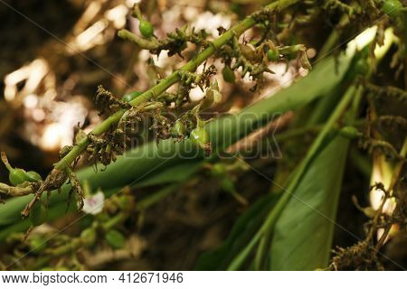 Cardamon Or Cardamum- A Spice Made From The Seeds Of Several Plants In The Genera Elettaria And Amom