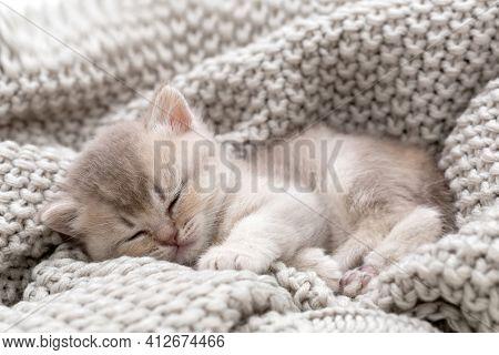 Little british kitten sleeping on a knitted blanket