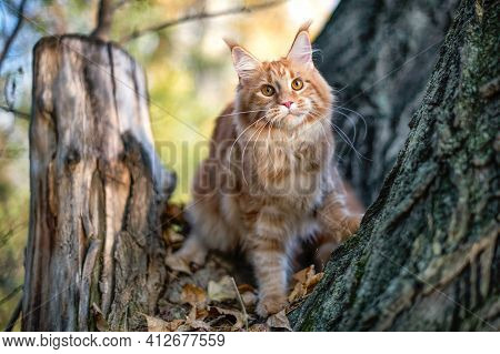 A Big Maine Coon Kitten Sitting On A Tree In A Forest In Summer.