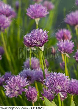 Purple Chives Flowers. Flowering Chives In The Garden. Selective Focus. Bokeh.