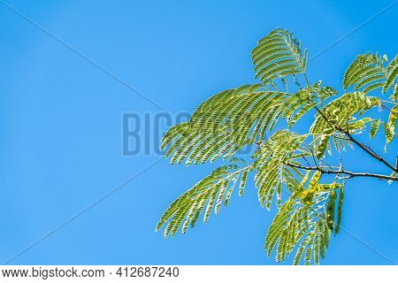 Acacia Leaves On The Blue Sky Background In Summer Sunshine. Selective Focus On Luscious Green Acaci