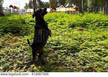 The Little Black Dog Stands On Its Hind Legs In The Park