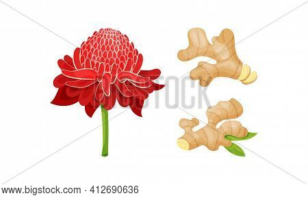 Fresh Ginger Rhizome As Fragrant Kitchen With Red Flower Vector Set