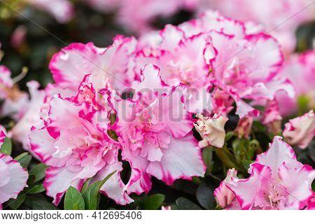 Rhododendron Flower. Flower In Garden. Flower At Spring Day. Colorful Flower. Flower Decoration. Flo