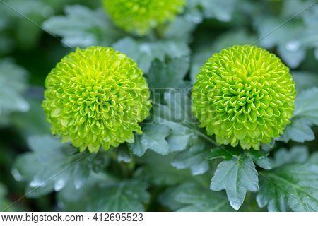 Pompom Chrysanthemums Flower. Flower In Garden. Flower At Spring Day. Colorful Flower. Flower Decora