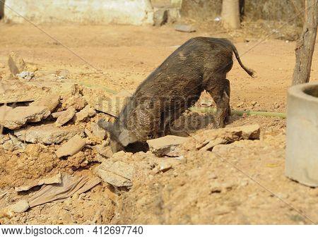 Pig Walking Around On A Farm