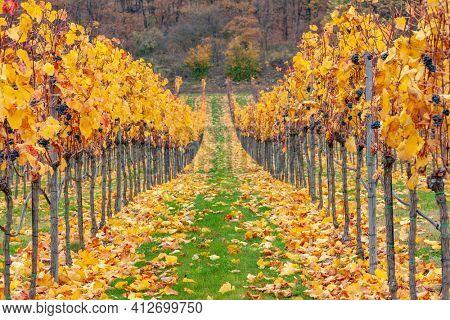 autumn vineyards near Retz, Lower Austria, Austria
