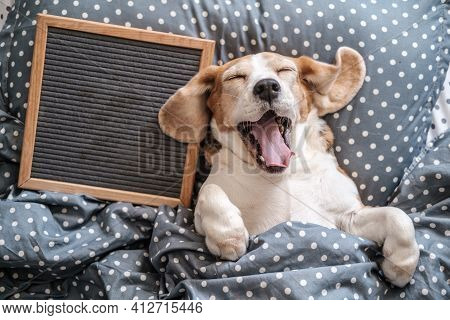 Cute Dog Breed Beagle Funny Sleeping On The Pillow And Yawning. Next To It Is An Empty Felt Writing