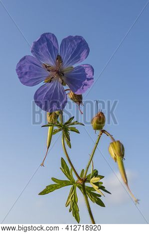 Purple Flower Of The Cranesbill, Geranium, Against A Blue Sky And With Seeds.