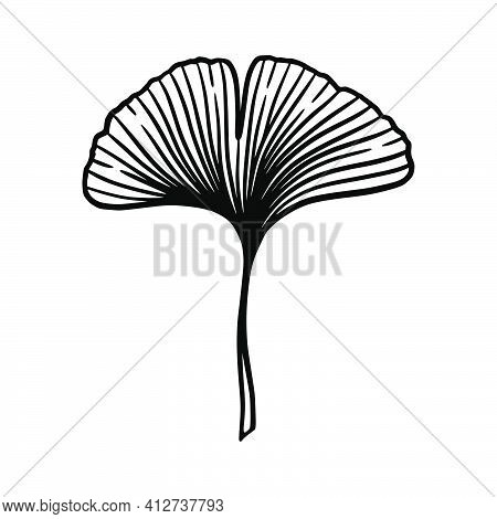 Ginkgo Or Gingko Biloba Leaf. Nature Botanical Vector Engraving Illustration, Herbal Medicine Graphi