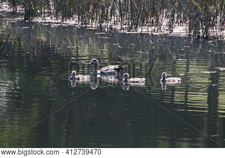 Mother Duck And Young Ducklings Swimming On Pond
