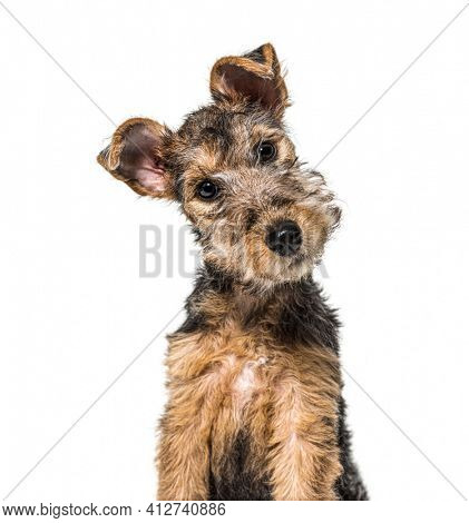 portrait of a Young Grizzle and tan Lakeland Terrier dog sitting, three months old