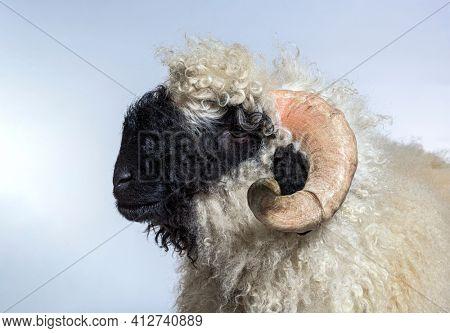 Portrait side view of adulte Valais Black nose