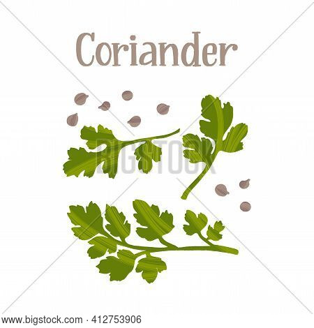 Herbs For Cooking. Coriander Leaves And Seeds. Healthy Nutrition Product.