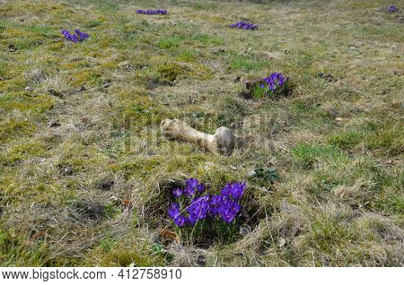 Although It Is The Bone Of A Large Animal Lying Next To A Cluster Of Crocuses Somewhere Far Away On
