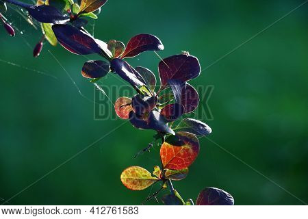 Part Of A Branch Of A Barberry With Leaves In Green And Claret Tones At Evening Solar Lighting. In T