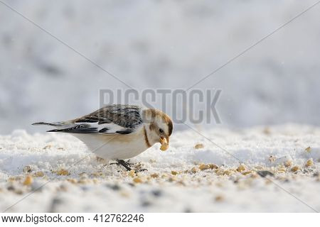 A Snow Bunting, Plectrophenax Nivalis, Foraging In Winter