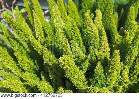Asparagus Fern, Plume Asparagus, Asparagus Densiflorus Or Foxtail Fern Green Stalks Close-up, Horizo