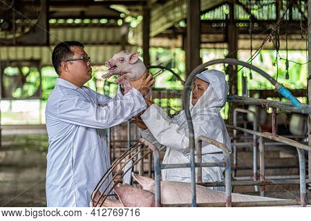 Asian Veterinarian With Assistant Holding And Checking The Baby Pig In Hog Farms, Animal And Pigs Fa