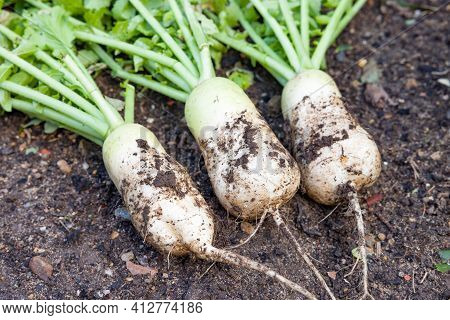 Mooli Radish (daikon) Plants And Roots, Mooli Kumbong Variety In A Vegetable Bed In A Uk Garden. Als