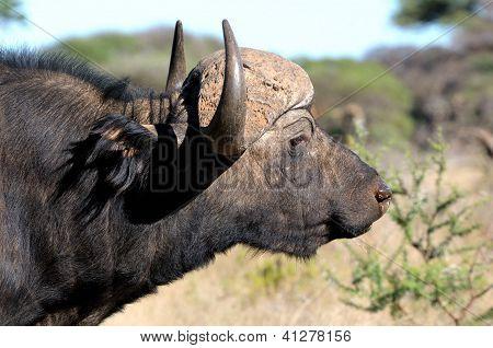 Cape Buffalo Portait