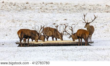 Deer Are Fed With Grain And Mixed Feed On The Feeding Ground In Winter. Male Red Deer With Horns Eat