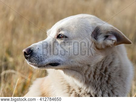 Hunting Dog Laika White Color Looks To The Side With His Ears Flattened. Portrait Of A West Siberian