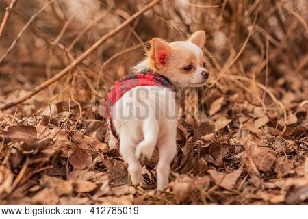 Puppy In The Garden. White Chihuahua Puppy In Clothes On. Dog. White Puppy In Autumn Leaves