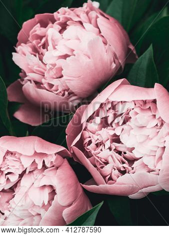 Pastel Peony Flowers Art Background. Flowers Delivery