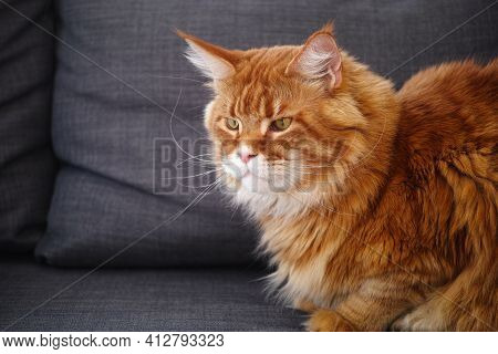 Red Maine Coon Cat Sitting On A Sofa. Close Up.